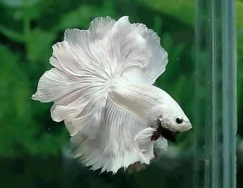 Siamese Fighting Fish Vancouver Animal Rights Campaigns